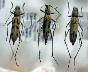 標本 343-3 激レア 台湾産 カミキリムシ Cerambycidae 3ex 現状特価