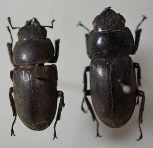 標本 293-53 激レア 産地不明 クワガタ Lucanidae 2ex 訳有り特価