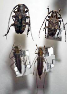 標本 343-67 稀少 台湾/FORMOSA産 カミキリムシ Cerambycidae 4ex 現状特価