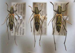 標本 239-47 激レア マレーシア産 カミキリムシ Cerambycidae 3ex 現状特価