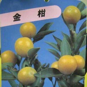 金柑 苗木