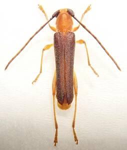 ●●ムモンチャイロホソバネカミキリ♂ 石垣島 野外採集品●●昆虫 甲虫 虫 カミキリ 剥製 ハクセイ 自然科学 自然 博物学 学術標本 標本