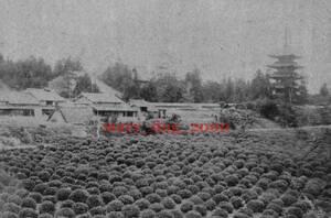 複製復刻 絵葉書/古写真 京都 東寺五重塔と茶畑 御土居 明治期
