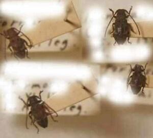 標本 616-20 稀少 FORMOSA産 小型カミキリムシ Cerambycidae 4ex 現状特価