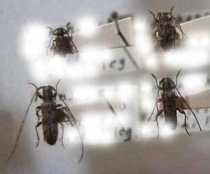 標本 616-14 稀少 FORMOSA産 小型カミキリムシ Cerambycidae 4ex 現状特価
