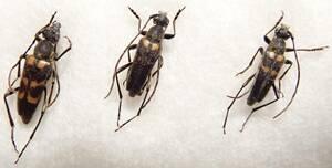 ●●ヤマトキモンハナカミキリ2♂♂1♀ 神奈川県 野外採集品 昆虫 甲虫 虫 蟲 カミキリ 剥製 ハクセイ 自然科学 自然 博物学 学術標本 標本