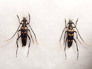 ●●ヤクシマヨツスジハナカミキリ2♂♂ 屋久島1●●昆虫 甲虫 虫 クワガタ 剥製 ハクセイ 自然科学 自然 博物学 学術標本 標本