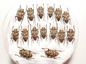 ●●アシナガゴマフカミキリ15♂♂ 宮古諸島 伊良部島 野外採集品 昆虫 甲虫 虫 カミキリ 剥製ハクセイ自然科学 自然 博物学 学術標本 標本