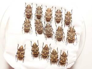 ●●アシナガゴマフカミキリ15♀♀ 宮古諸島 伊良部島 野外採集品 昆虫 甲虫 虫 カミキリ 剥製ハクセイ自然科学 自然 博物学 学術標本 標本