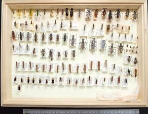 ●●インロー箱付きカミキリセット●●昆虫 甲虫 虫 カミキリ 剥製 ハクセイ 自然科学 自然 博物学 学術標本 標本