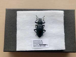 昆虫標本 京都府産 ユミアシゴミムシダマシ
