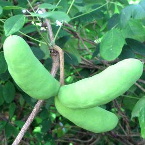 ■京都産アケビの種30粒 食用品種アケビ グリーンカーテン・緑の棚・花・実・ツルの利用