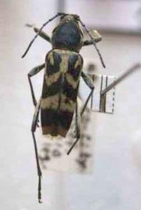 標本 97-59 稀少 秋田県産 クロトラカミキリ 体長約13.6mm 訳有り特価