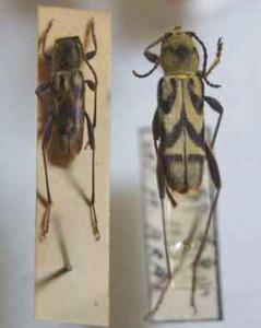 標本 97-4 ラスト1点 東京都産 Clytus auripilis 2ex 現状特価