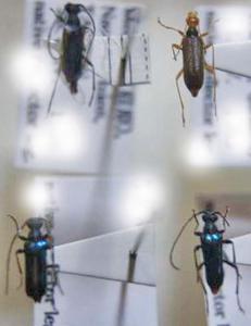 標本 342-11 稀少 台湾産 カミキリムシ Cerambycidae 4ex 現状特価