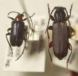標本 341-A36 極珍 イタリア/フランス産 カミキリムシ Cerambycidae 2ex 現状特価