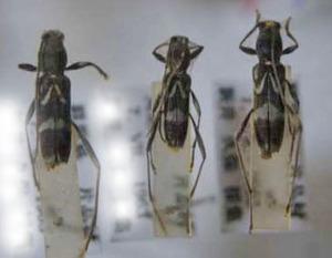 標本 97-31 ラスト1点 群馬県産 Rhaphuma xenisca 3ex 現状特価