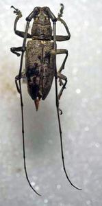 標本 338-79 稀少 マレーシア産 カミキリムシ Cerambycidae 体長約24.4mm 訳有り特価