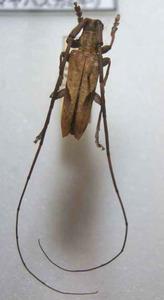 標本 101-25 ラスト1点 奄美大島産 Uraecha oshimana 体長約23.5mm 現状特価