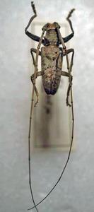 標本 343-98 極珍 台湾産 Acalolepta rustretys?の仲間 体長約23.5mm 現状特価
