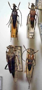 標本 411-66 稀少 山梨県/奥日光産 Etrofs vicarius 4ex 現状特価