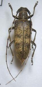 標本 101-58 稀少 鹿児島県産 センノカミキリ 体長約38.5mm 現状特価