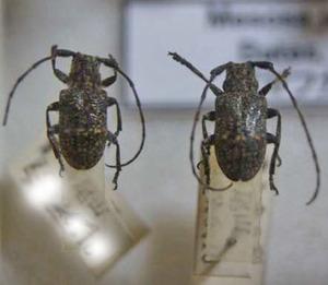 標本 99-40 ラスト1点 高尾山産 Mesosa japonica 2ex 現状特価