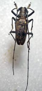 標本 338-80 稀少 マレーシア産 カミキリムシ Cerambycidae 体長28mm 訳有り特価