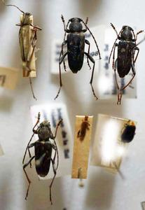 標本 526-16 稀少 メキシコ/高尾山産 カミキリムシいろいろ 6ex 現状特価