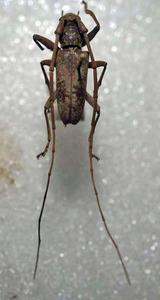 標本 338-89 稀少 マレーシア産 カミキリムシ Cerambycidae 体長23.1mm 訳有り特価