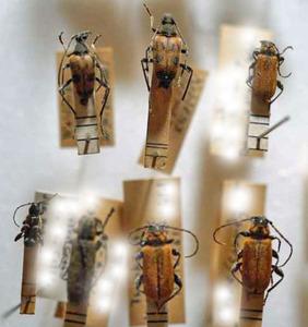 標本 526-26 稀少 L.A./オーストリア/フランクフルト産 Pyuhidium sanguinum他 7ex 現状特価