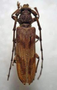 標本 334-76 稀少 マレーシア産 カミキリムシ Cerambycidae 体長約40.8mm 訳有り特価