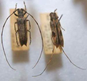 標本 101-51 ラスト1点 福島県産 Uraecha bimaculata bimaculata 2ex 現状特価