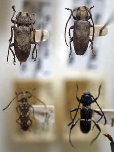 標本 340-9 激レア タイ/パプアニューギニア産 カミキリムシ Cerambycidae 4ex 現状特価