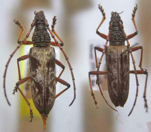 標本 239-19 極珍 ボルネオ産 Zagriades? SP. 2ex 現状特価