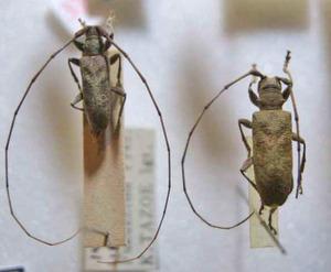 標本 101-39 ラスト1点 福島県産 Acalolepta sejuncta sejuncta 2ex 現状特価