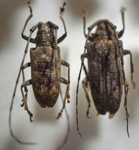 標本 338-17 稀少 マレーシア産 カミキリムシ Cerambycidae 2ex 現状特価