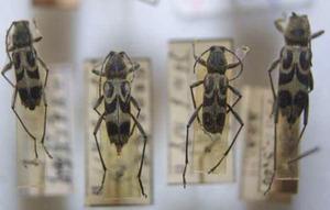 標本 97-18 ラスト1点 山梨県/高尾山産 Chlorophorus japonicus 4ex 現状特価
