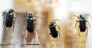 標本 413-8 ラスト1点 高尾山/群馬県産 Dinoptera minuta 4ex 現状特価