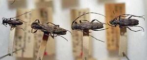 標本 417-39 ラスト1点 福島県産 Rondibilis saperdina 4ex 現状特価
