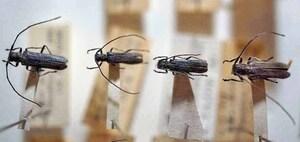 標本 414-22 ラスト1点 福島県産 Eumecocera unicolor 4ex 現状特価