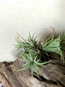 【Frontier Plants】チランジア・イオナンタ T. ionantha(Clump)ブロメリア エアープランツ