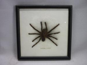 ▽Ca裏45▼昆虫標本 eurypelma spinicrus タランチュラ くも 蜘蛛 クモ 資料