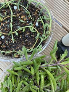 多肉植物 カット苗 アーモンドネックレス ルビーネックレス 10センチカット 1本ずつ 合計2本 送料100円