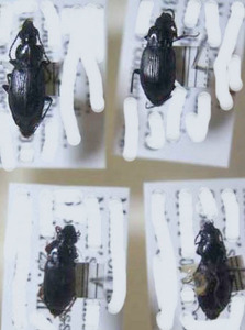 標本 23-16 激レア ロシア産 小型のオサムシの一種? 4ex 現状特価