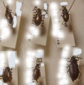 標本 152-19 極珍 アルゼンチン産 Tenebrionidaeの一種 6ex 現状特価