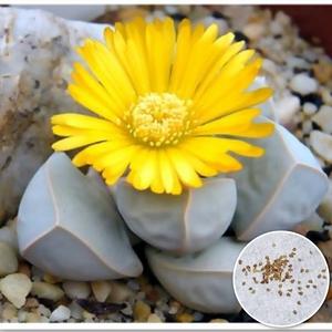 種10粒 ラピダリア マーガレッタ 魔玉 多肉植物
