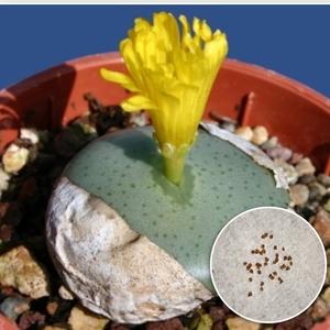 種10粒 コノフィツム オルナツム 多肉植物