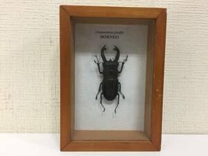 昆虫標本 ジャワ島 ブケットフタマタクワガタ CLADONATHUS GIRAFFA    A1