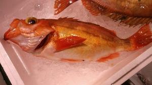 (魚)赤メバル26cm大型1匹